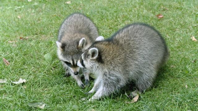 MS Raccoons eating peanuts / Tweed, Ontario, Canada