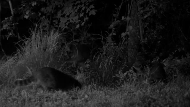stockvideo's en b-roll-footage met raccoons forage in a dark appalachian forest. - foerageren