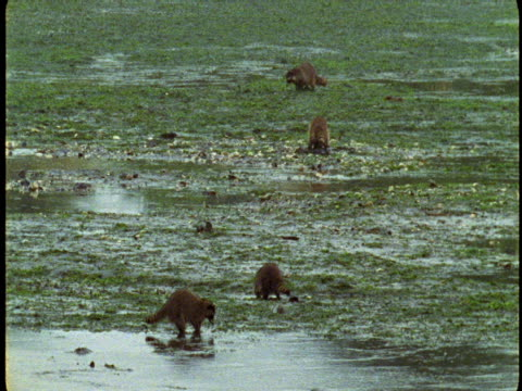 vidéos et rushes de raccoons scavenge for food on a flooded plain. - se nourrir des restes