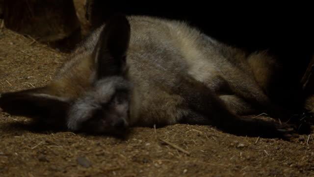 vídeos de stock e filmes b-roll de raccoons sleep on sand - olhar de lado