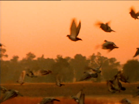 racing pigeons flying across the sky at dusk. - colomba video stock e b–roll