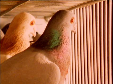 vídeos de stock, filmes e b-roll de racing pigeons inside cage, waiting to be released - medo