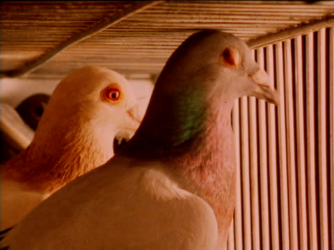 racing pigeons inside cage, waiting to be released - tier in gefangenschaft stock-videos und b-roll-filmmaterial