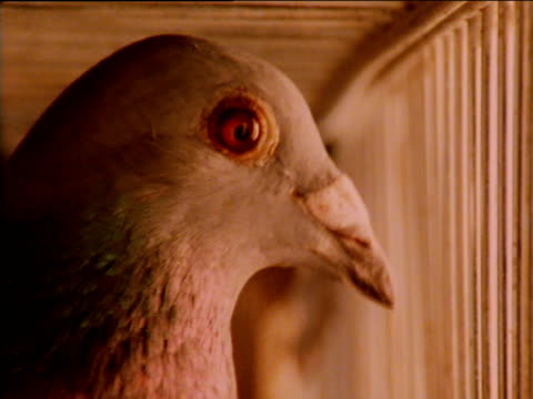 vídeos de stock e filmes b-roll de racing pigeons inside cage, waiting to be released - jaula