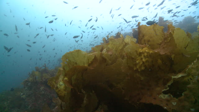 pov rack above low kelp with lots of fish above  - kelp stock videos & royalty-free footage