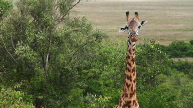 vídeos de stock, filmes e b-roll de rack focus cu of a giraffe in the wild - girafa