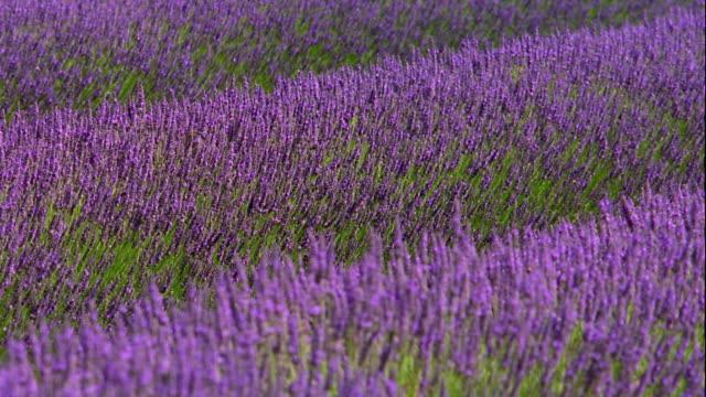MS rack focus field of lavender flowers blowing in wind / France