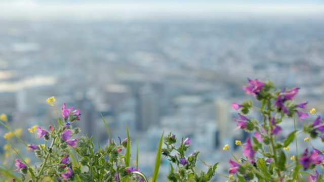 WS Rack focus from purple flower to view of Cape Town CBD, Cape Town, South Africa
