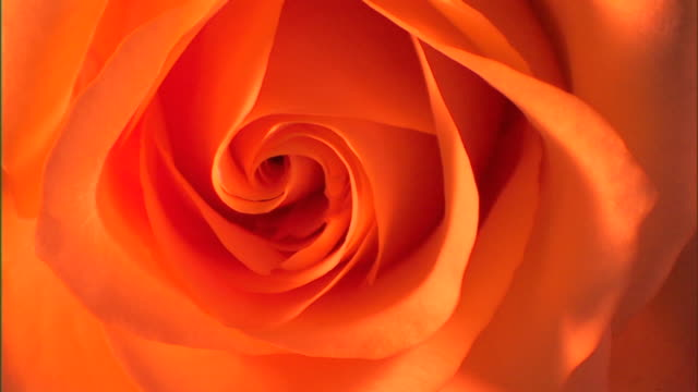 Rack focus from sharp to blurred of the center of a pink-orange rose.
