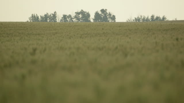 ws rack focus of field of wheat - edmonton stock videos and b-roll footage
