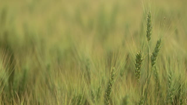 rack focus of impressionistic image of field of wheat - wheat stock videos & royalty-free footage