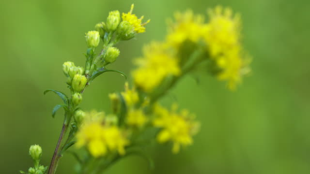 Rack focus on Goldenrod Flowers (2 takes)