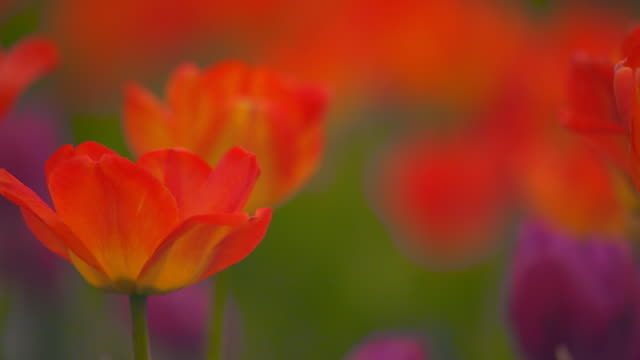 vidéos et rushes de rack focus on red and yellow tulips - groupe moyen d'objets
