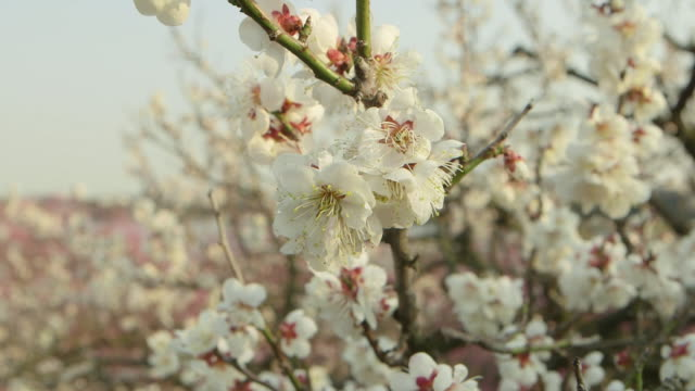 Rack focus pan shot of white plum blossoms on tree branches in Ibaraki Kairakuen Garden racking focus from the small bunches of flowers in the...
