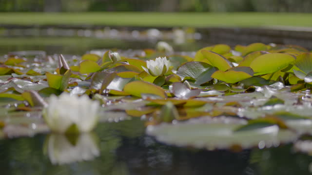 rack focus shot from a white water lily blossom to another one - pond stock videos & royalty-free footage