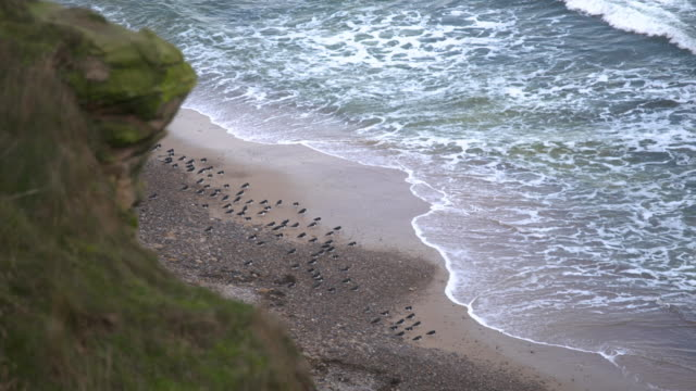 rack focus shot from cliffs to a flock of eurasian oystercatcher on the seaside - ミヤコドリ点の映像素材/bロール