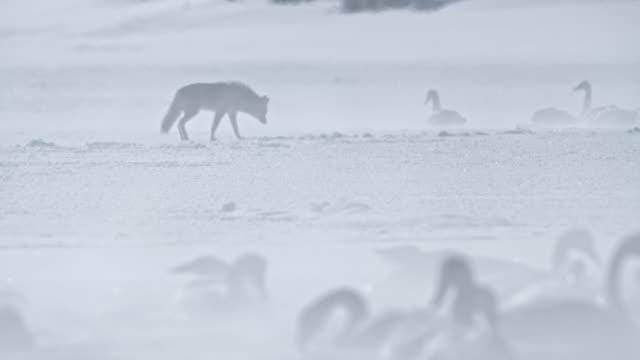 vidéos et rushes de rack focus shot of a coyote walking near trumpeter swans - cygne