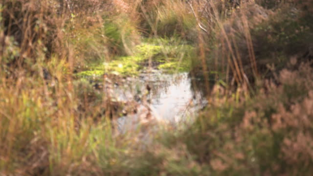 rack focus shot of a pond in a bog - bog stock videos & royalty-free footage