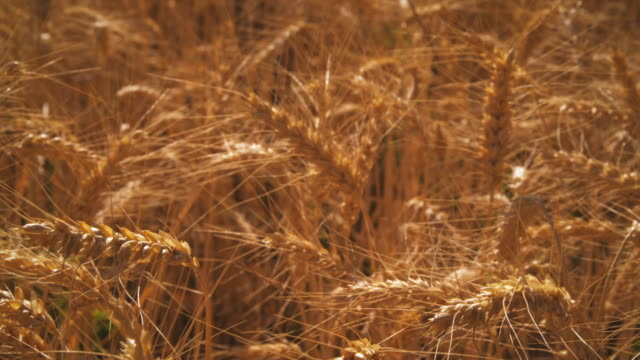 rack focus shot of golden wheat. - プロボ点の映像素材/bロール