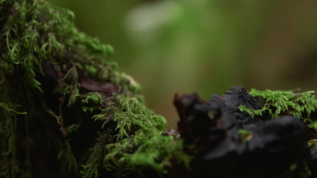 vídeos y material grabado en eventos de stock de rack focus shot of moss growing on tree at redwood national and state parks - bosque de secuoyas