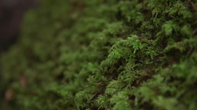 vídeos de stock, filmes e b-roll de rack focus shot of moss growing on tree - parque nacional de redwood