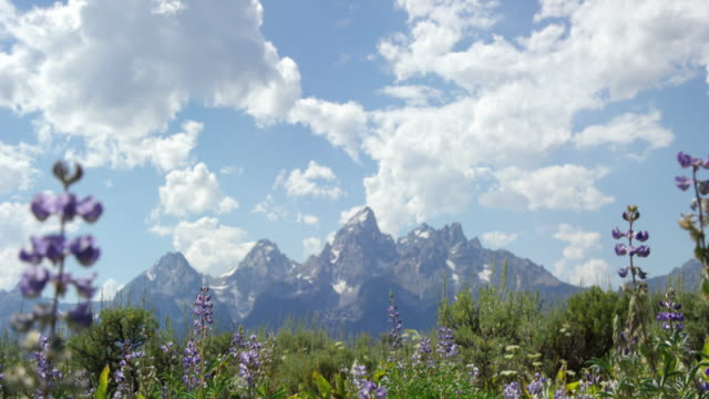 rack focus shot of silvery lupine wildflowers swaying in the breeze with the grand teton mountains in grand teton national park in the background in western wyoming on a sunny day - parco nazionale del grand teton video stock e b–roll
