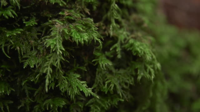 rack focus shot of tree growing at redwood national and state parks - sequoiabaum stock-videos und b-roll-filmmaterial