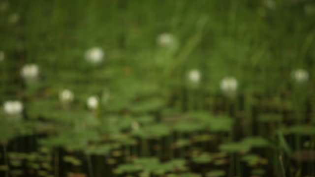 Rack Focus Through Lily Pads and Water Reeds in Forest