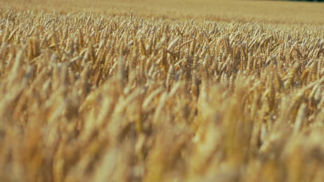 rack focus, wheat oars in summer breeze - cereal plant stock videos & royalty-free footage