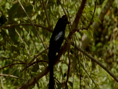 ms racket-tailed drongo sitting in tree, flies off, india - drongo stock videos and b-roll footage
