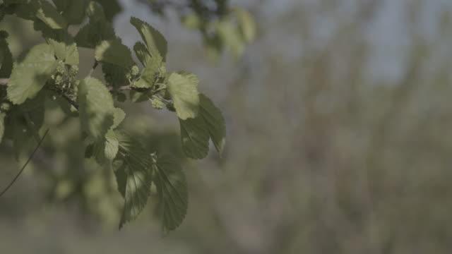 vidéos et rushes de rack-focus of unripe mulberries on a sunny day. - arbre à feuilles caduques