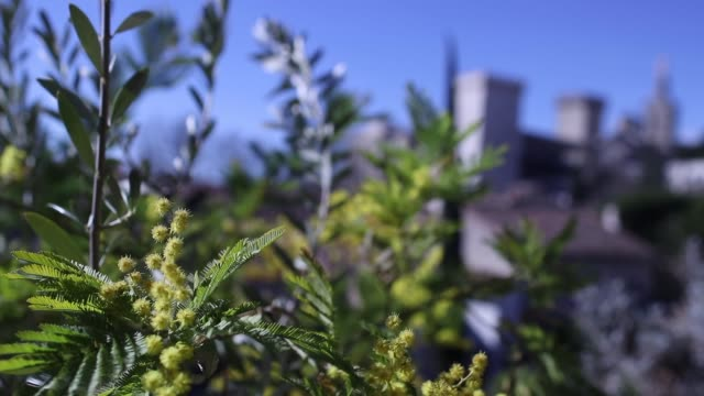 racking focus from mimosa flowers and palace of the popes in avignon - palace video stock e b–roll