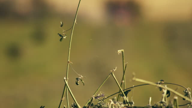 racking focus shot of hay and farmer gathering hay using his tractor - プロボ点の映像素材/bロール