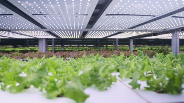 屋内垂直農場で栽培されたリビングレタスのラック - 水栽培点の映像素材/bロール