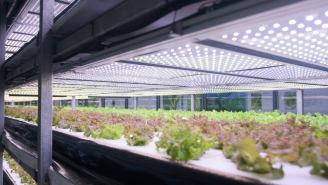 racks of cultivated living lettuce at indoor vertical farm - indoors stock videos & royalty-free footage