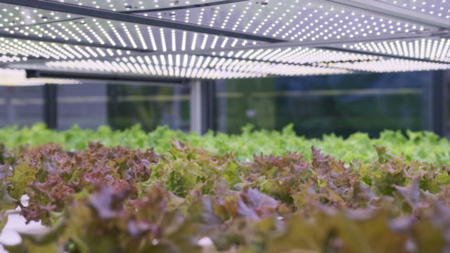 racks of cultivated living lettuce at indoor vertical farm - farm to table stock videos & royalty-free footage