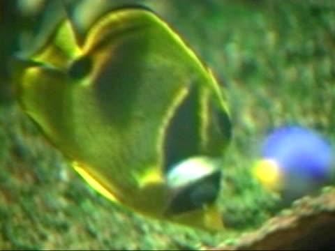 racoon butterflyfish - chaetodon lunula - aquatic organism stock videos & royalty-free footage