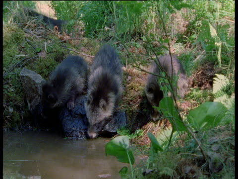 racoon dog pups drink at water's edge whilst two others play fight in background, finland - bbc stock videos and b-roll footage