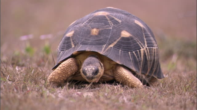 radiated tortoise (astrochelys radiata) grazes, madagascar - tortoise stock videos and b-roll footage