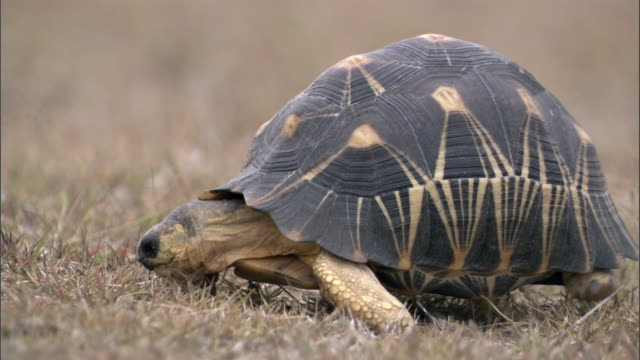 radiated tortoise (astrochelys radiata) walks, madagascar - landschildkröte stock-videos und b-roll-filmmaterial