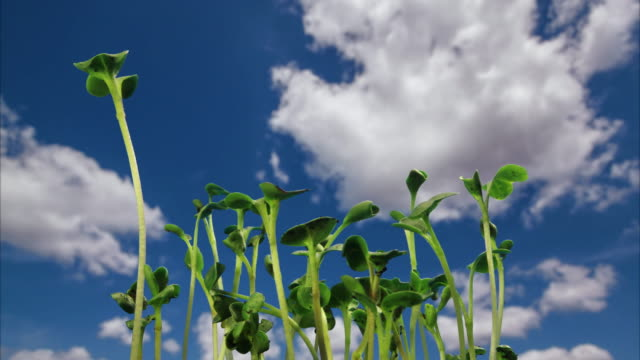 Radish seedlings growing and dancing in front of moving clouds