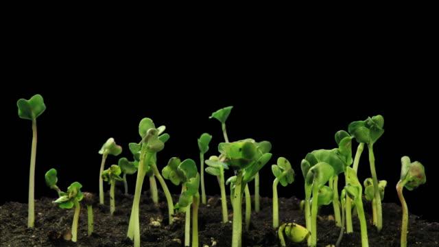 Radish seedlings growing into the light