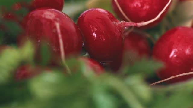 vidéos et rushes de radis et salade verte - radis