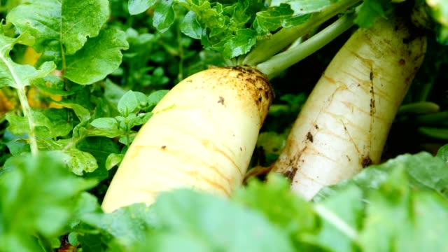 radishes growing in field - crucifers stock videos & royalty-free footage