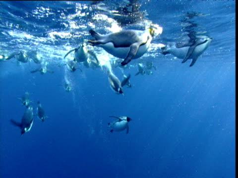 Raft of Emperor Penguins dives from surface, Terra Nova, Antarctica