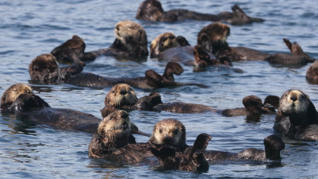 Raft of Sea Otters in Kelp
