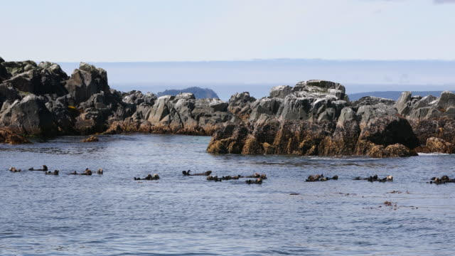 raft of sea otters in kelp - otter stock videos & royalty-free footage