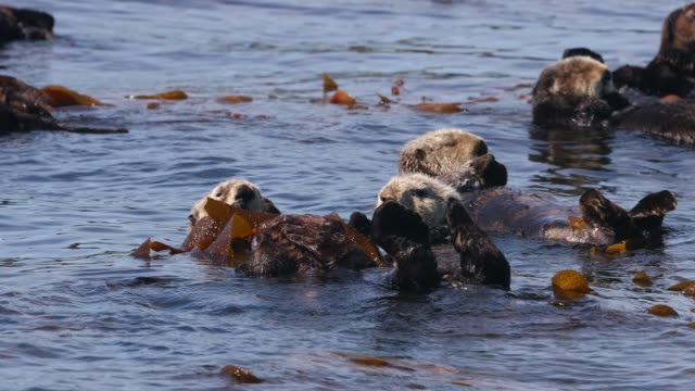 raft of sea otters in kelp - seaweed stock videos & royalty-free footage
