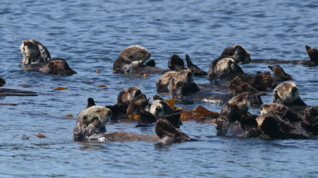 stockvideo's en b-roll-footage met raft of sea otters in kelp - grote groep dieren