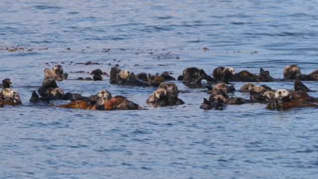 raft of sea otters in kelp - kelp点の映像素材/bロール